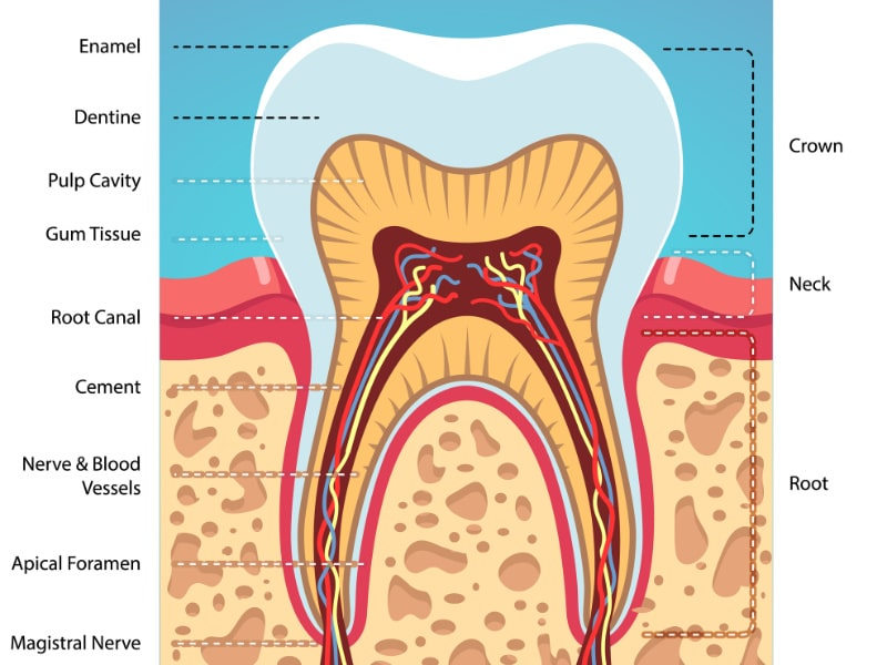 Cross section of the tooth anatomy showing the root canal in the tooth